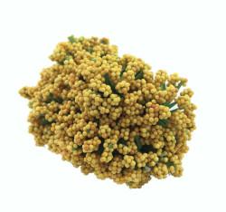 - Cipso Çiçek Altın